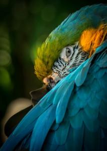 Resting Macaw